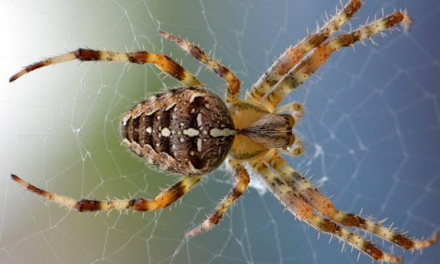 A legjobb házi pókűző: ezzel a módszerrel elhagyják a nyolclábúak a lakást