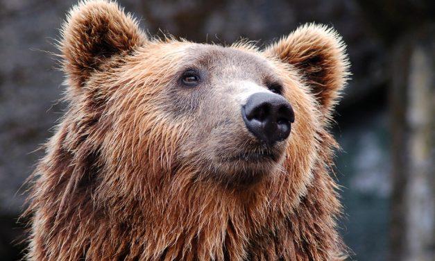 Állati jó hétvégi programok: több helyen is szerveznek medvelest