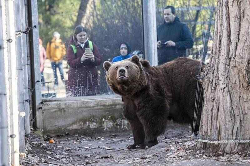 Meglátta árnyékát a fővárosi állatkert medvéje: hosszú lesz a tél