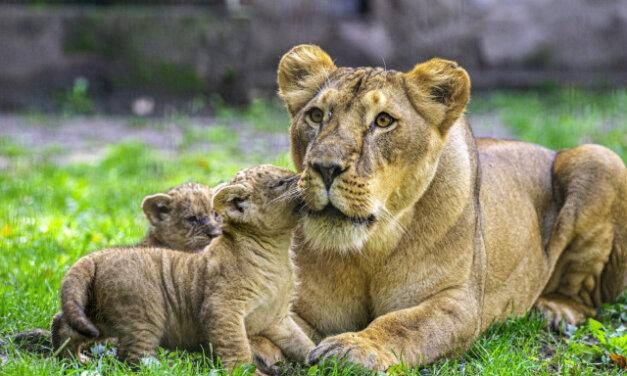 Négy afrikai oroszlán született a Nyíregyházi Állatparkban