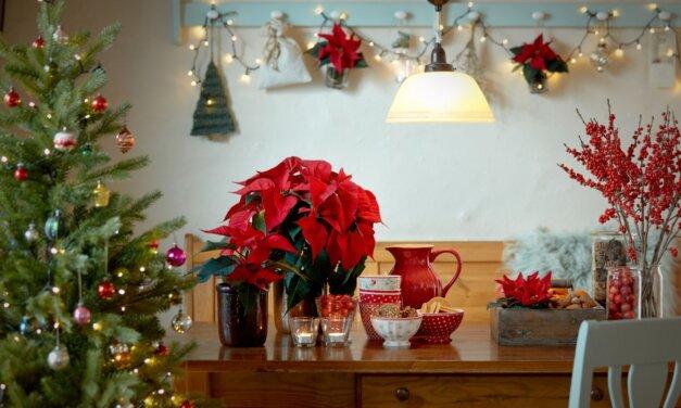Így gondozd a mikulásvirágodat, hogy karácsonykor is a legszebb pompájában ragyogjon!
