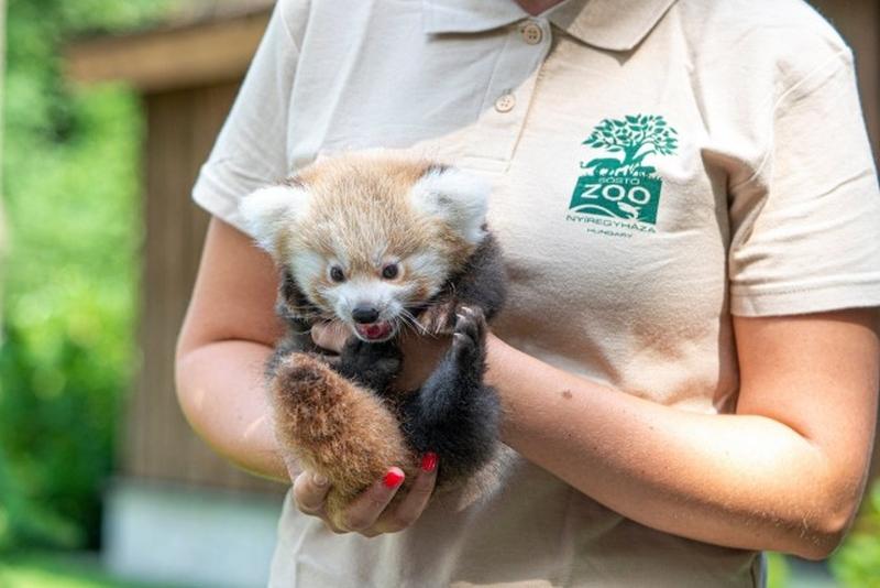Pandakölyök